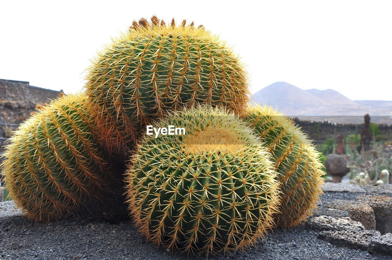 Close-up of barrel cactuses on field against clear sky