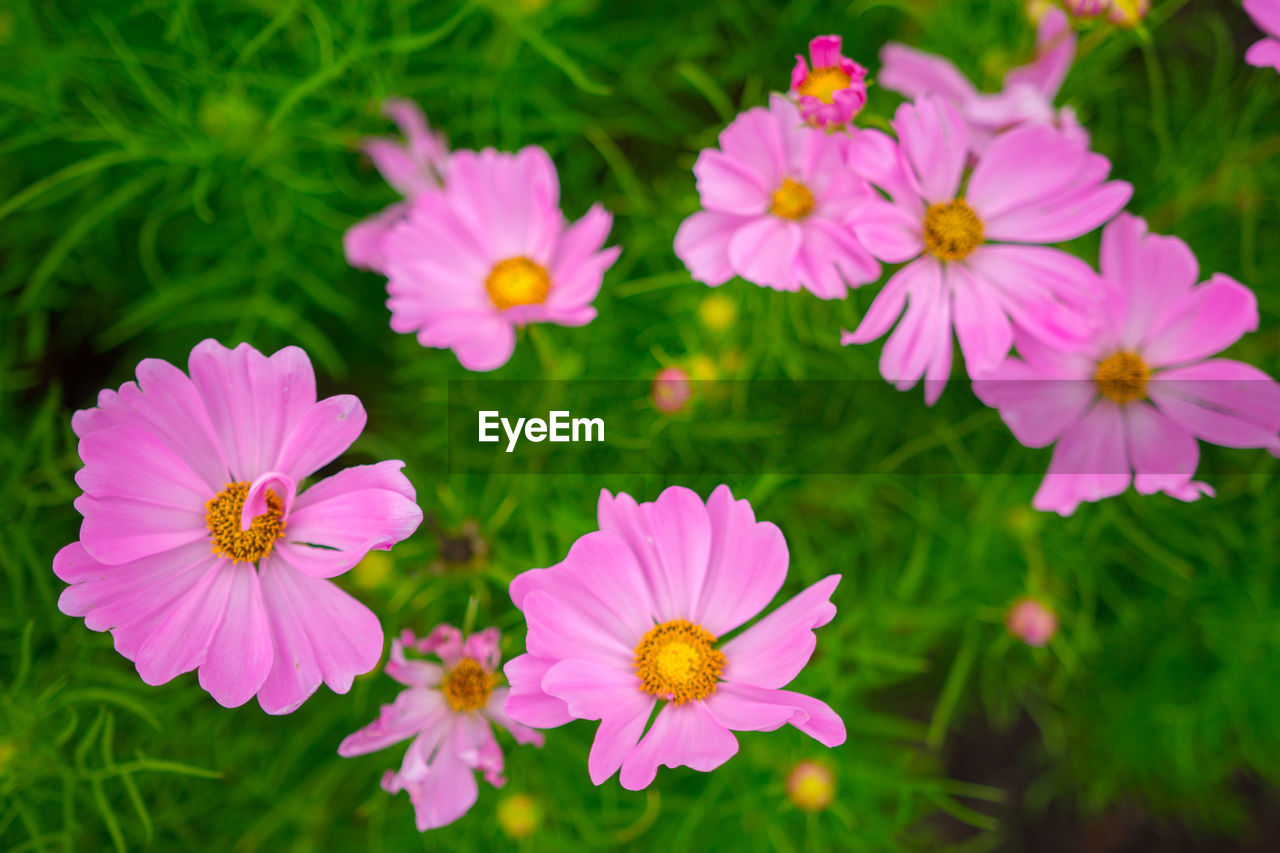 flowering plant, flower, freshness, petal, fragility, vulnerability, plant, beauty in nature, flower head, growth, inflorescence, pink color, close-up, nature, day, no people, pollen, cosmos flower, selective focus, high angle view, outdoors