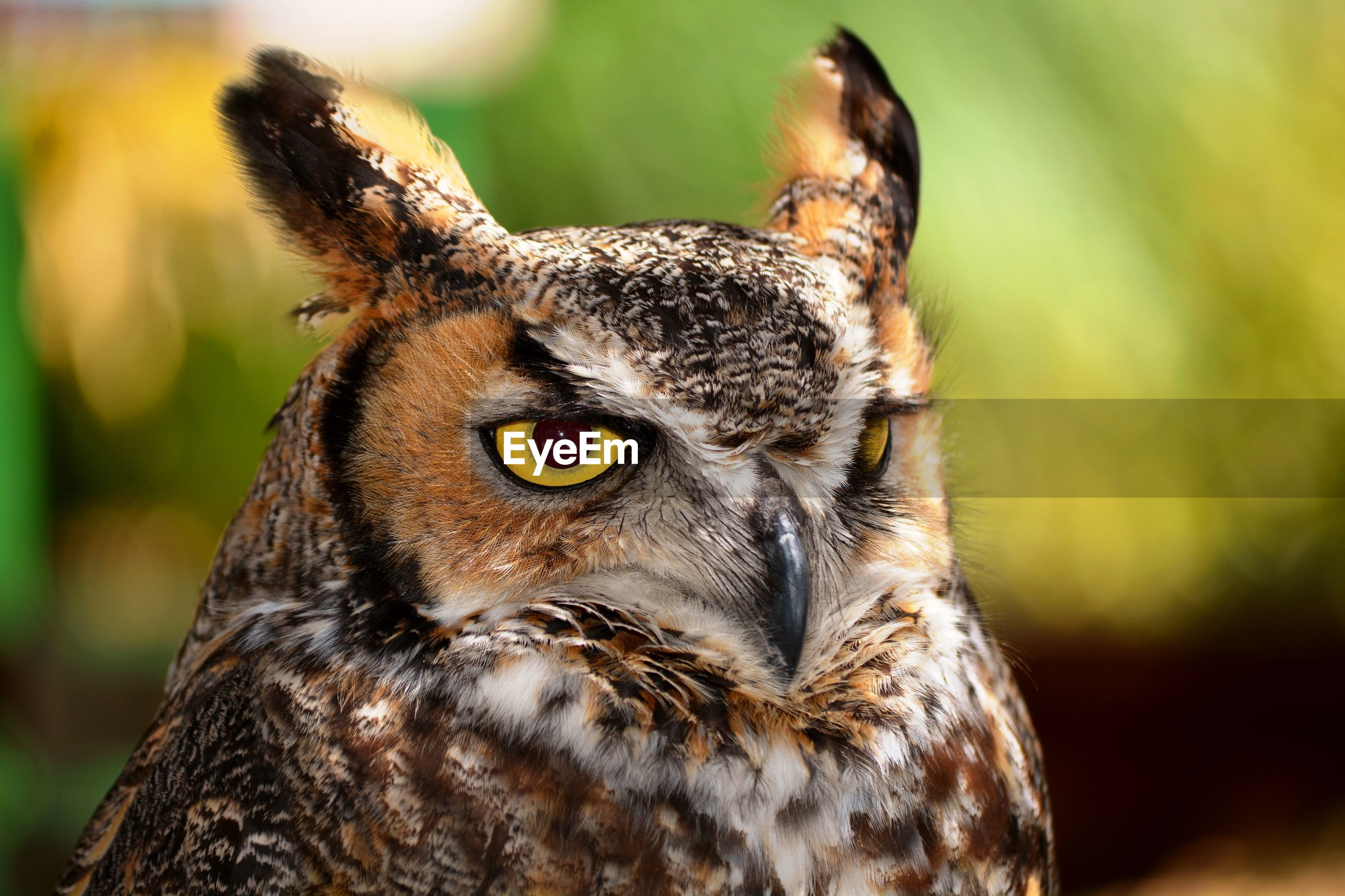 An owl with the yellow eyes