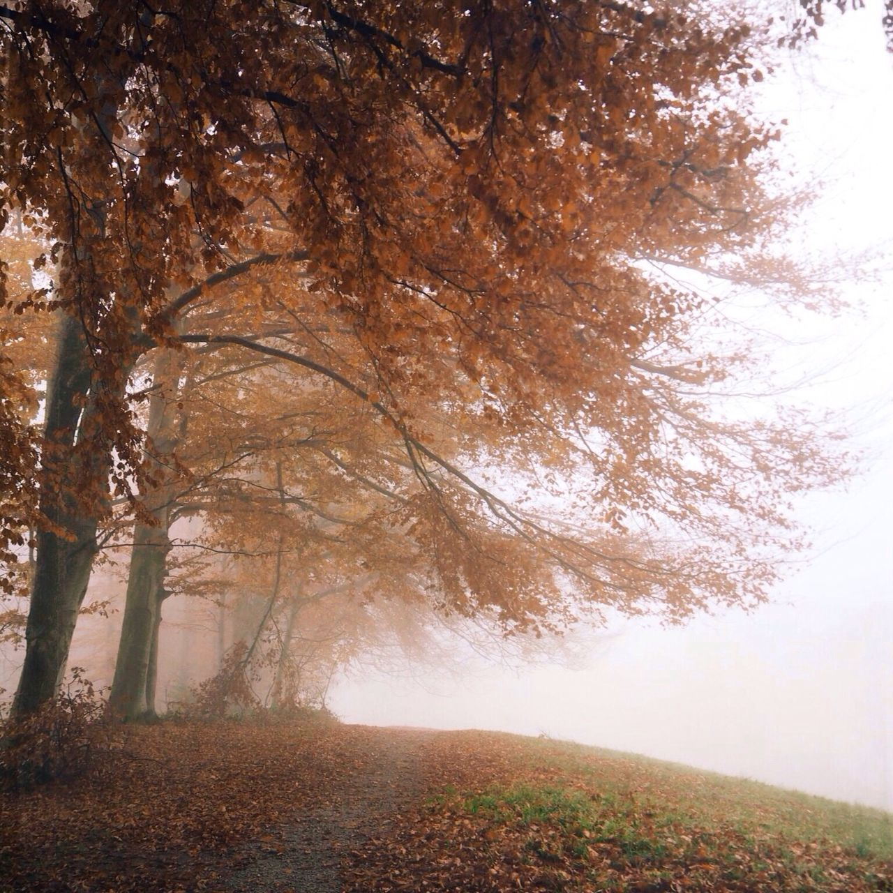 Trees in fog