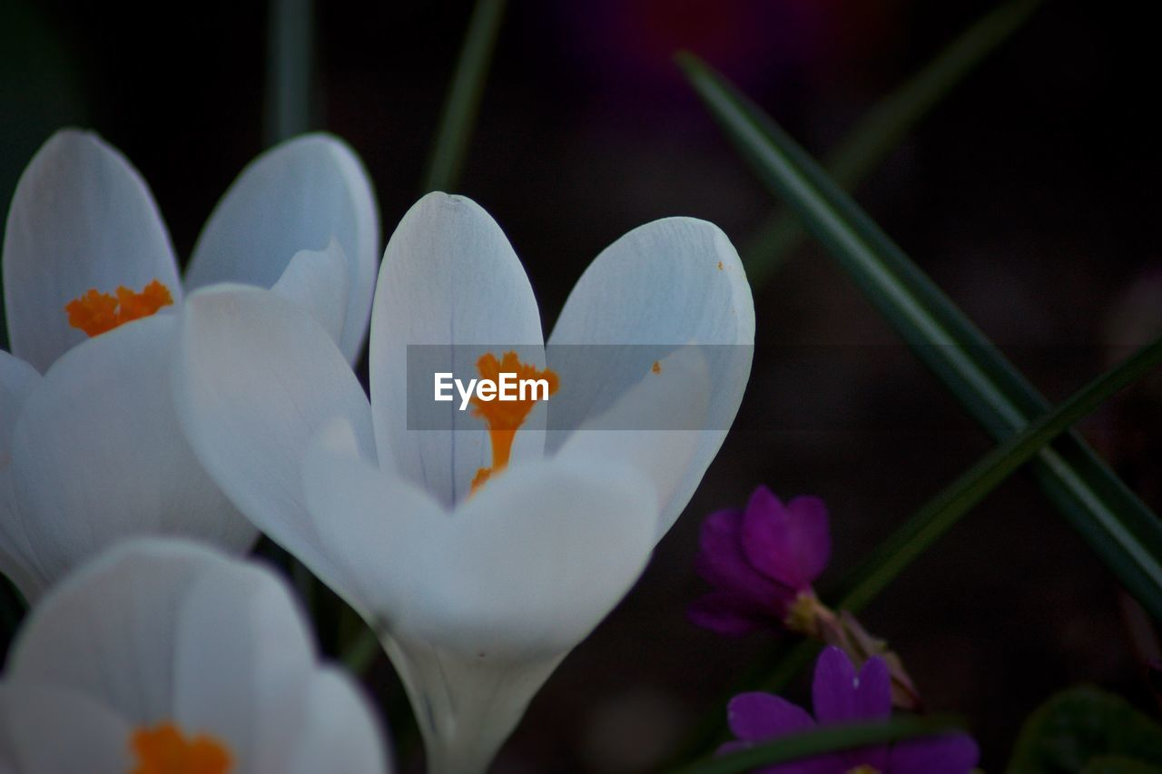 flower, petal, growth, freshness, beauty in nature, fragility, nature, white color, flower head, plant, close-up, blooming, no people, day, outdoors, crocus