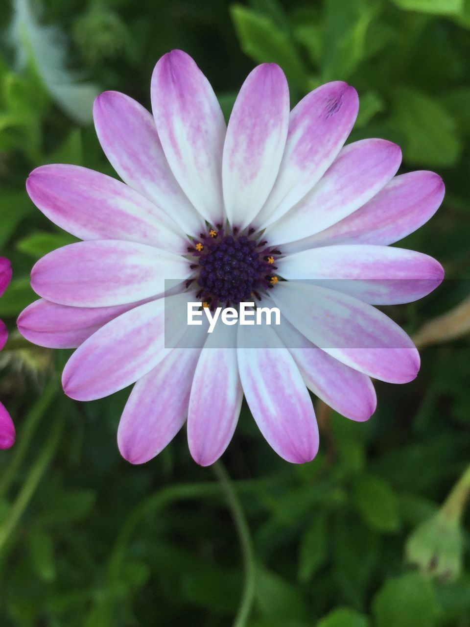 flower, petal, nature, fragility, beauty in nature, freshness, plant, flower head, outdoors, no people, day, growth, focus on foreground, blooming, pink color, close-up, osteospermum