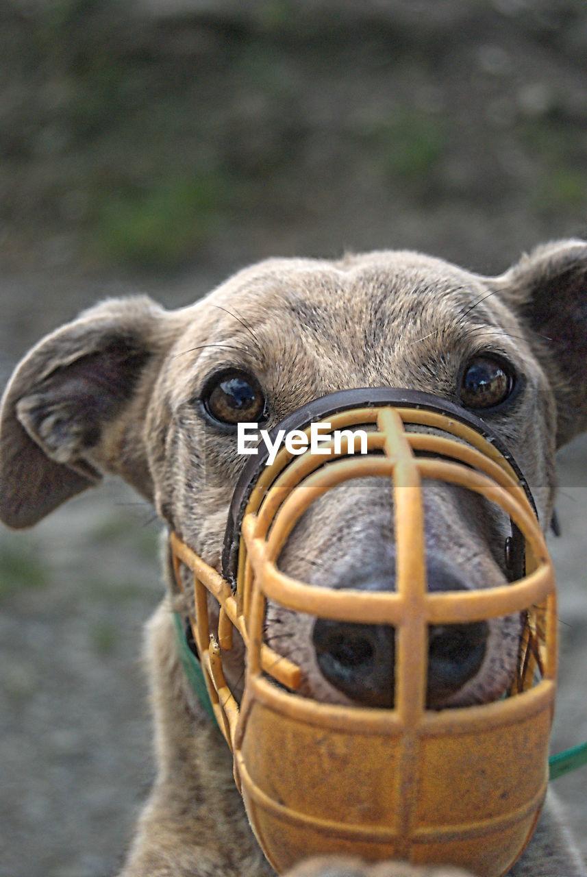 Portrait of greyhound wearing muzzle