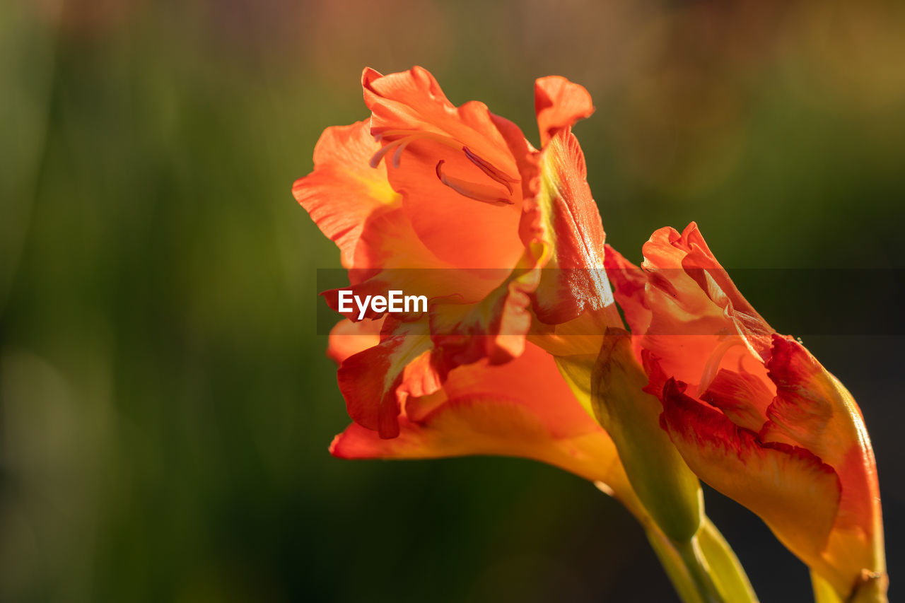 flowering plant, flower, vulnerability, petal, fragility, beauty in nature, freshness, plant, flower head, growth, inflorescence, close-up, nature, no people, day, focus on foreground, red, outdoors, selective focus, orange color