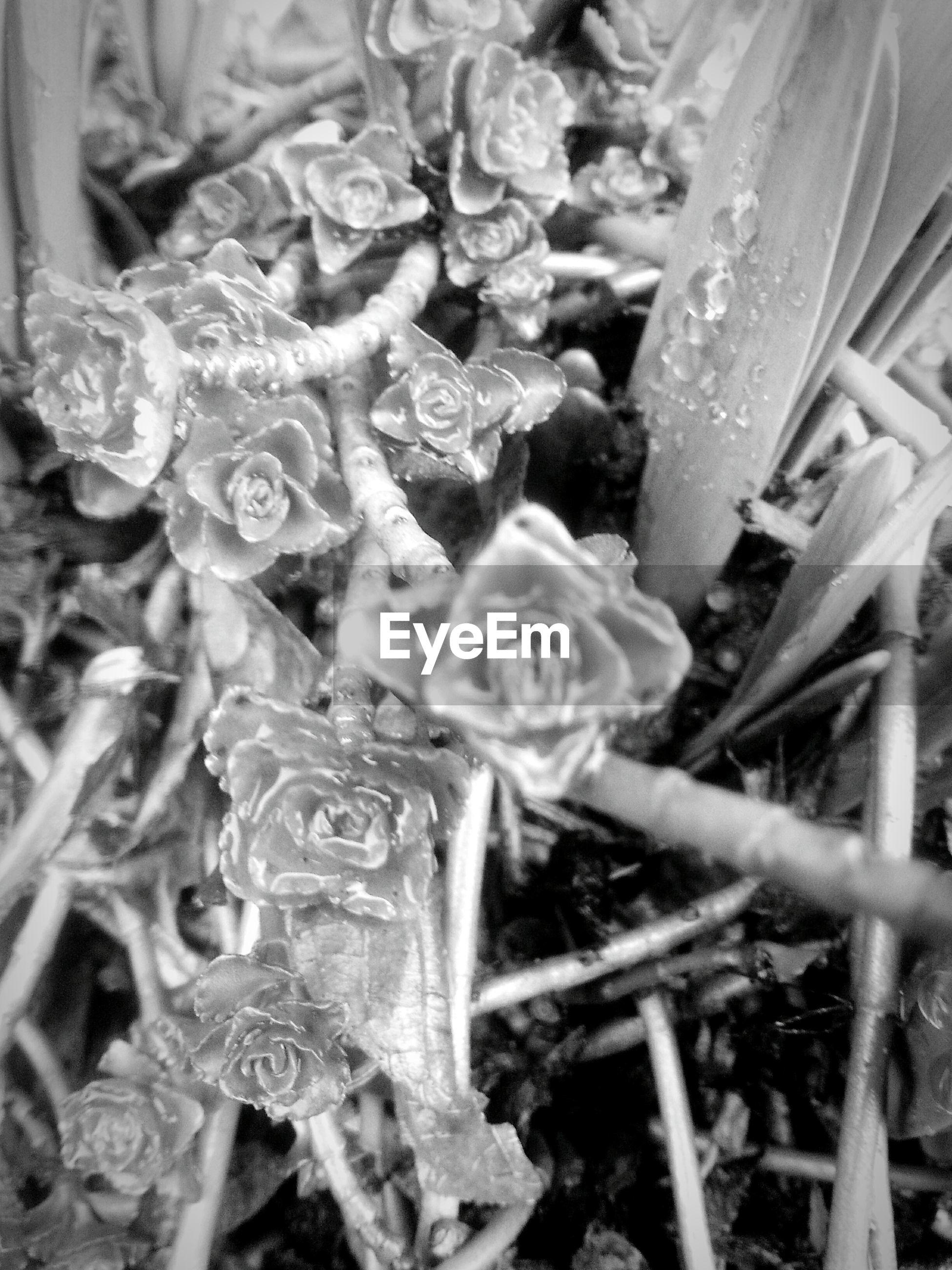 Close-up of raindrops on sempervivum