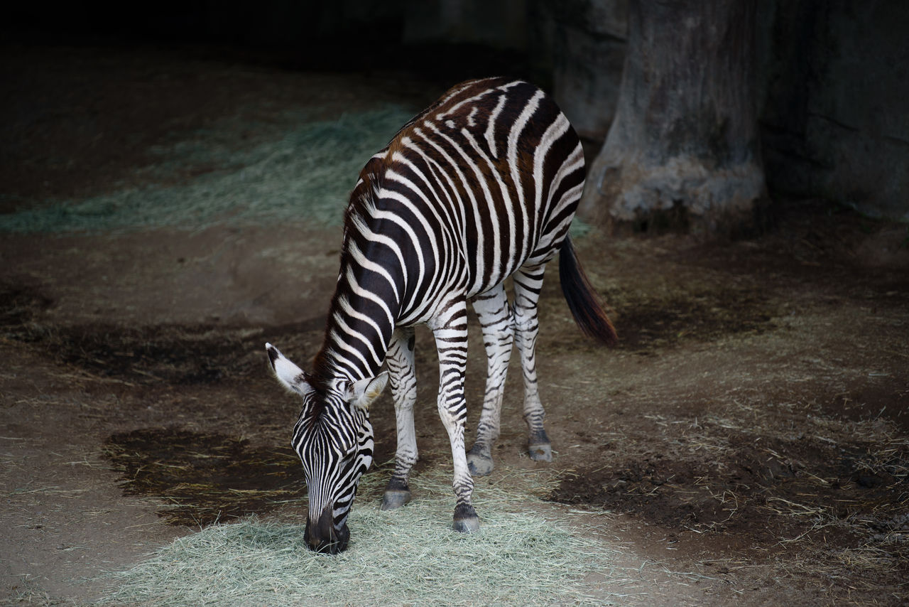 animal themes, animal, striped, animal wildlife, mammal, animals in the wild, zebra, vertebrate, one animal, no people, herbivorous, nature, domestic animals, zoology, standing, outdoors, field, animals in captivity, land, zoo