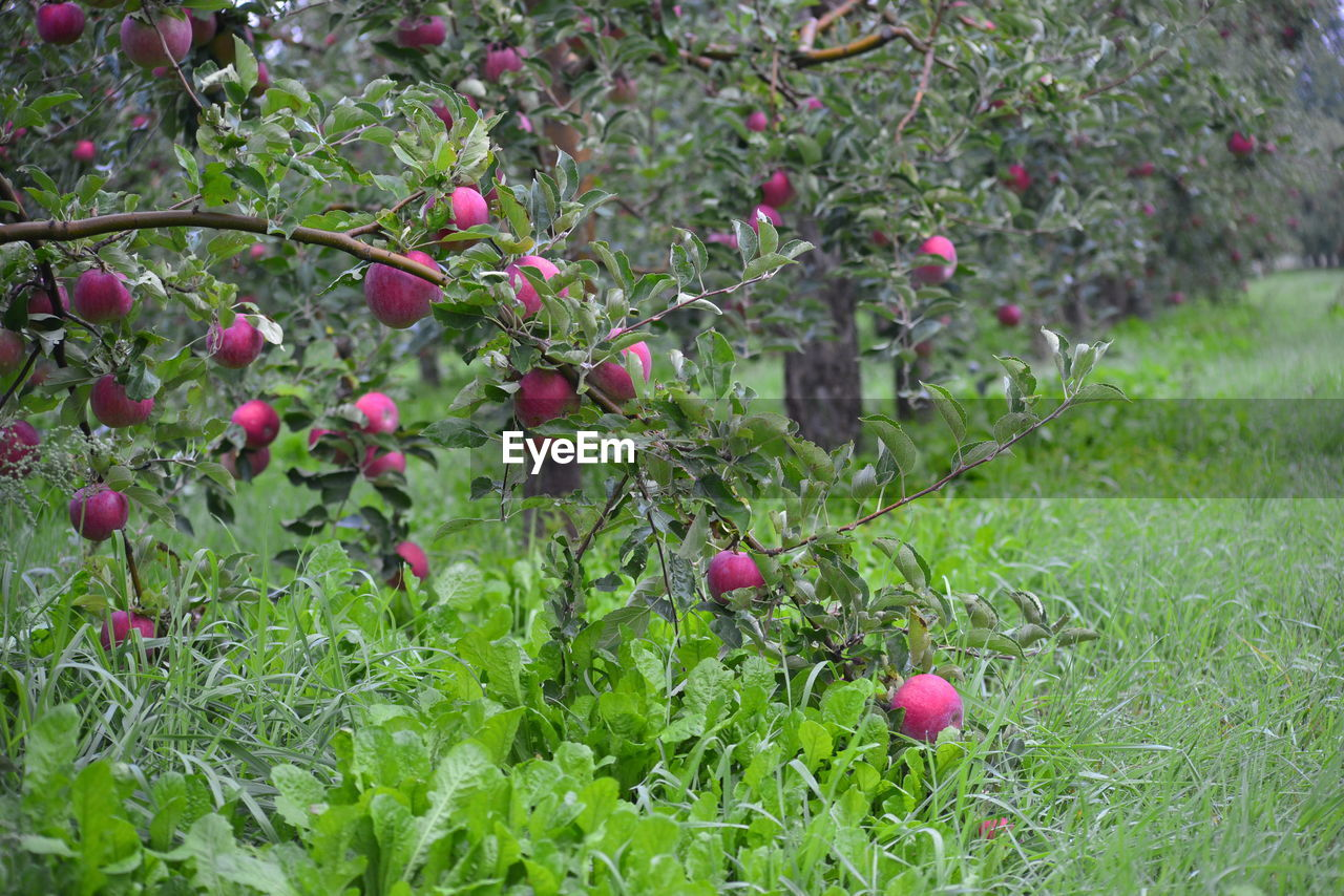 fruit, growth, food and drink, nature, freshness, outdoors, healthy eating, green color, food, day, apple - fruit, plant, no people, tree, leaf, red, beauty in nature, grass, close-up