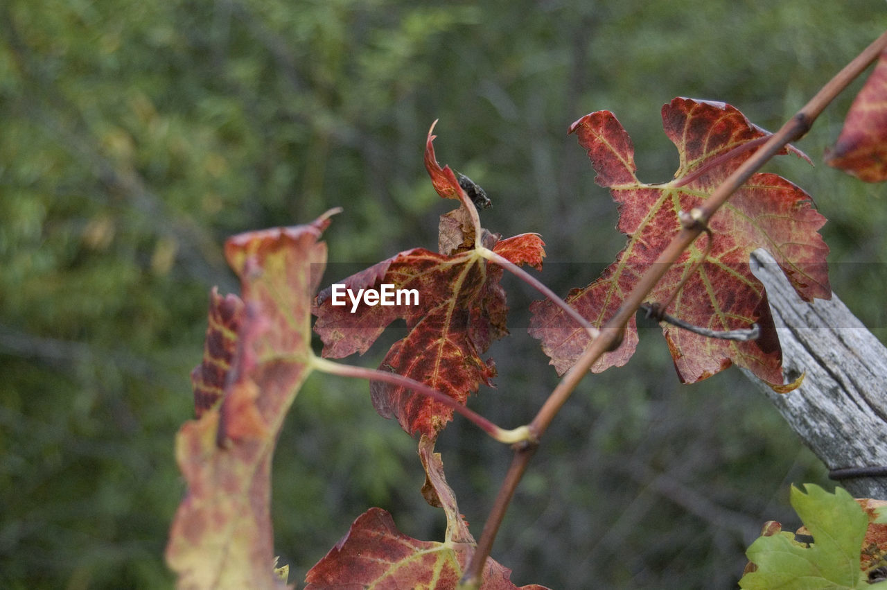CLOSE-UP OF PLANT AGAINST RED LEAF