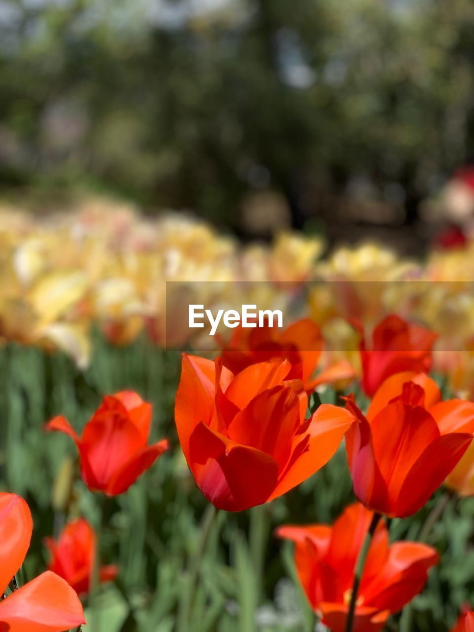 flowering plant, flower, plant, beauty in nature, freshness, vulnerability, fragility, petal, growth, close-up, inflorescence, flower head, day, red, nature, no people, focus on foreground, field, leaf, sunlight, outdoors, flowerbed