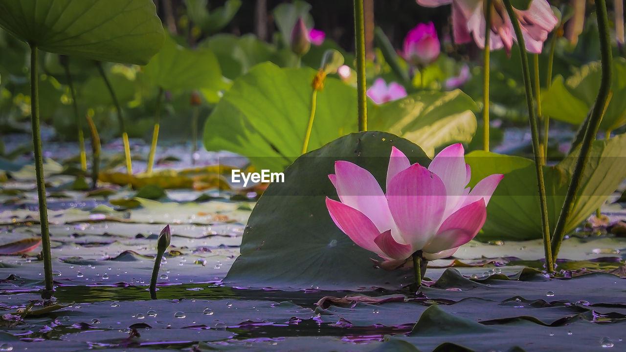 Pink Lotus Water Lilies Blooming In Pond