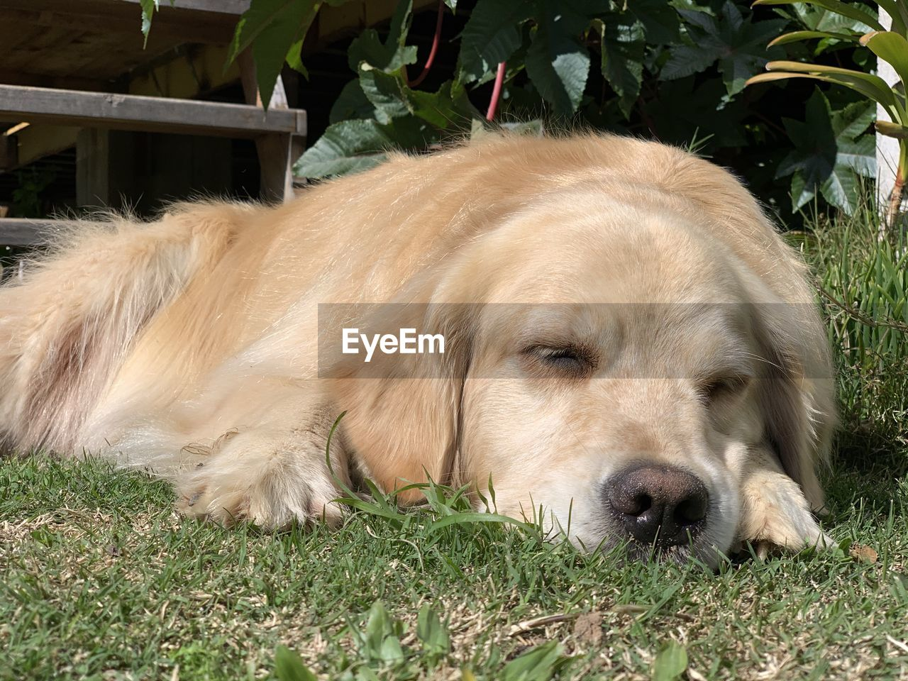 one animal, animal themes, animal, mammal, pets, domestic, domestic animals, dog, canine, vertebrate, relaxation, plant, resting, no people, grass, close-up, portrait, nature, lying down, day, animal head