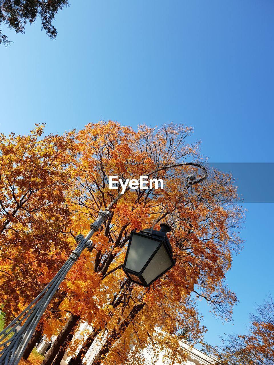 tree, sky, low angle view, plant, nature, clear sky, blue, no people, autumn, change, day, lighting equipment, branch, outdoors, street light, copy space, sunlight, orange color, growth, sign