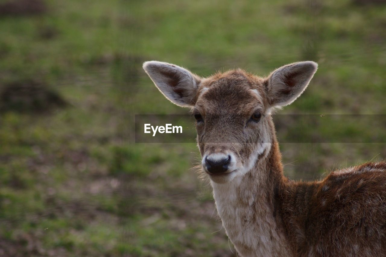 one animal, portrait, vertebrate, mammal, looking at camera, animal wildlife, land, animals in the wild, field, deer, domestic animals, nature, people, day, focus on foreground, standing, brown, outdoors, herbivorous