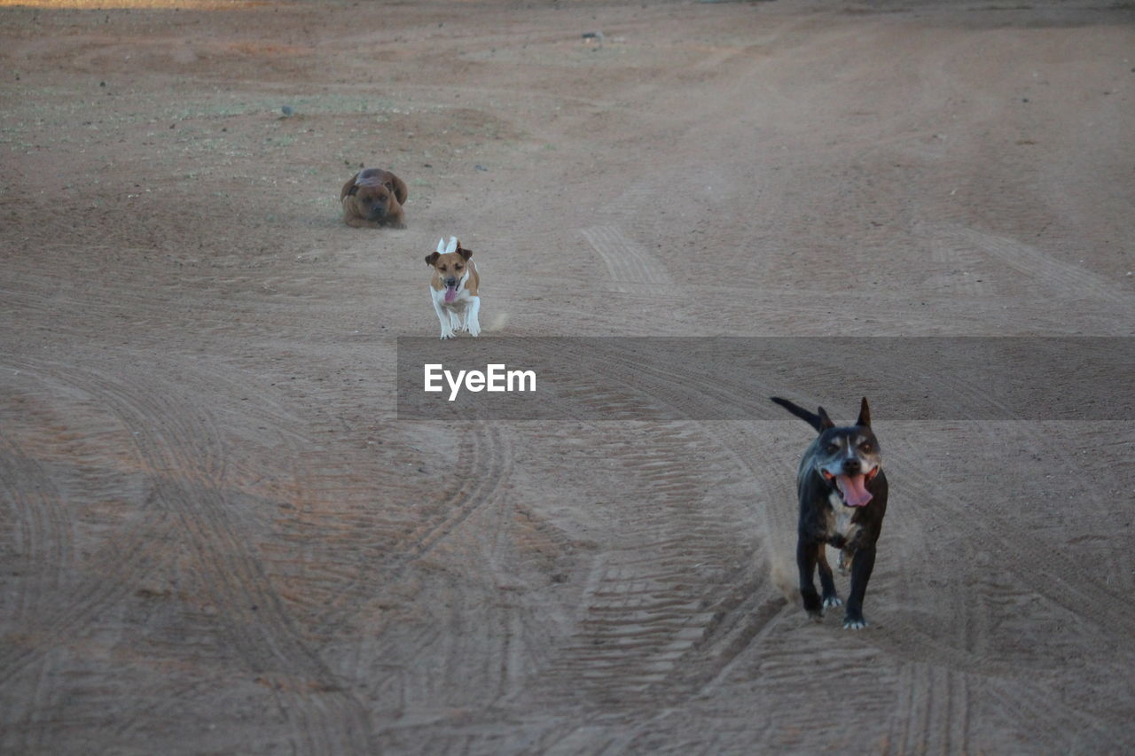mammal, domestic animals, domestic, pets, one animal, vertebrate, people, dog, looking at camera, canine, portrait, land, day, high angle view, livestock, full length