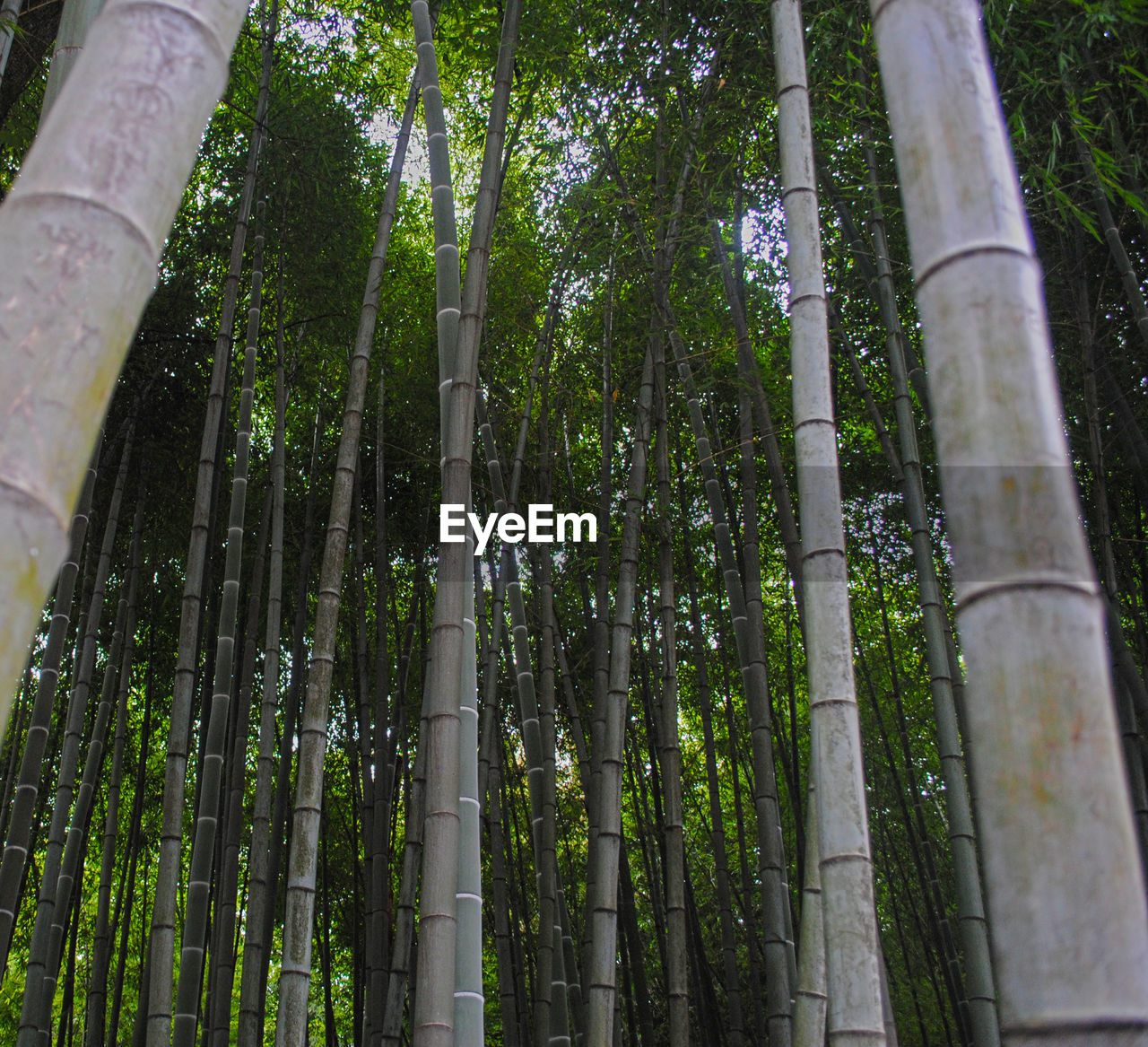 LOW ANGLE VIEW OF BAMBOO PLANTS IN FOREST