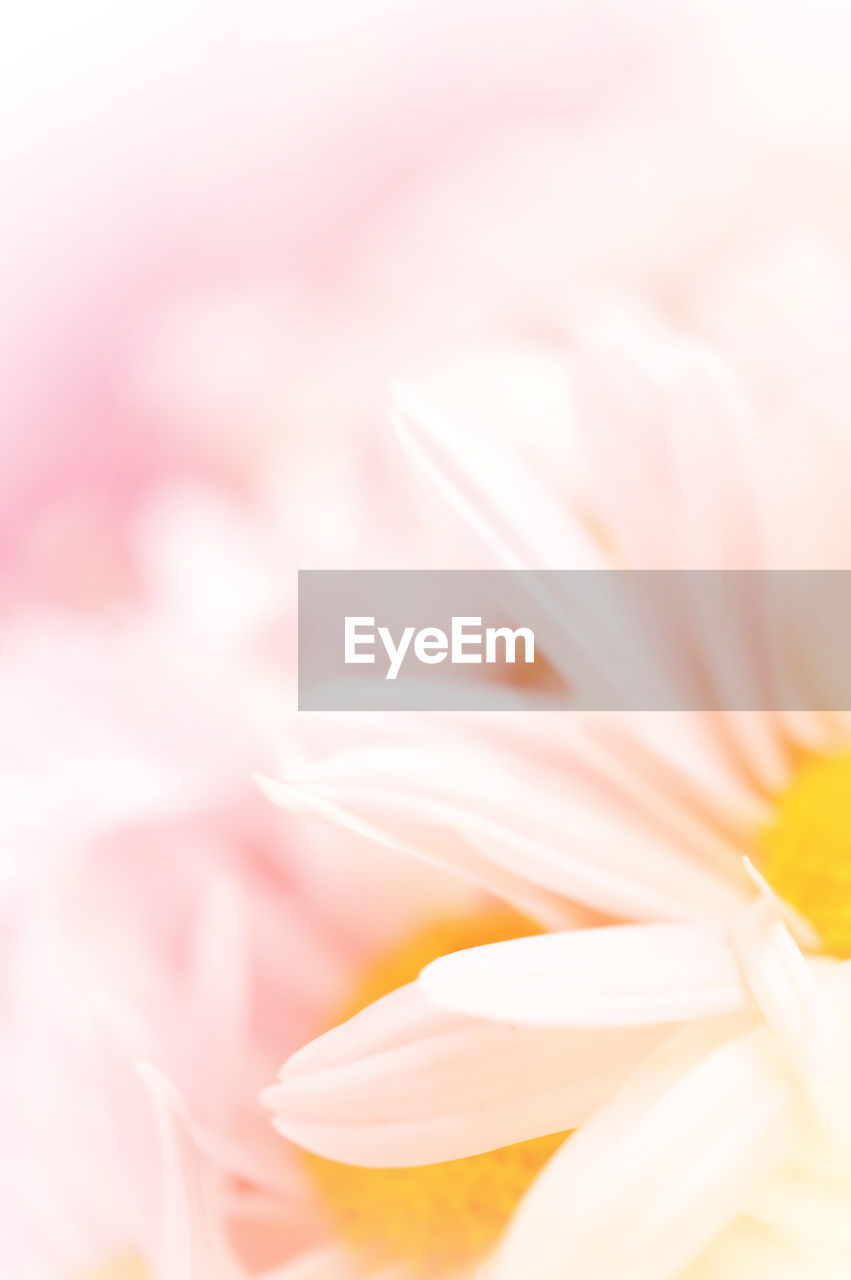 flower, flowering plant, vulnerability, fragility, beauty in nature, close-up, freshness, petal, plant, flower head, inflorescence, no people, selective focus, backgrounds, growth, pink color, nature, day, full frame, softness