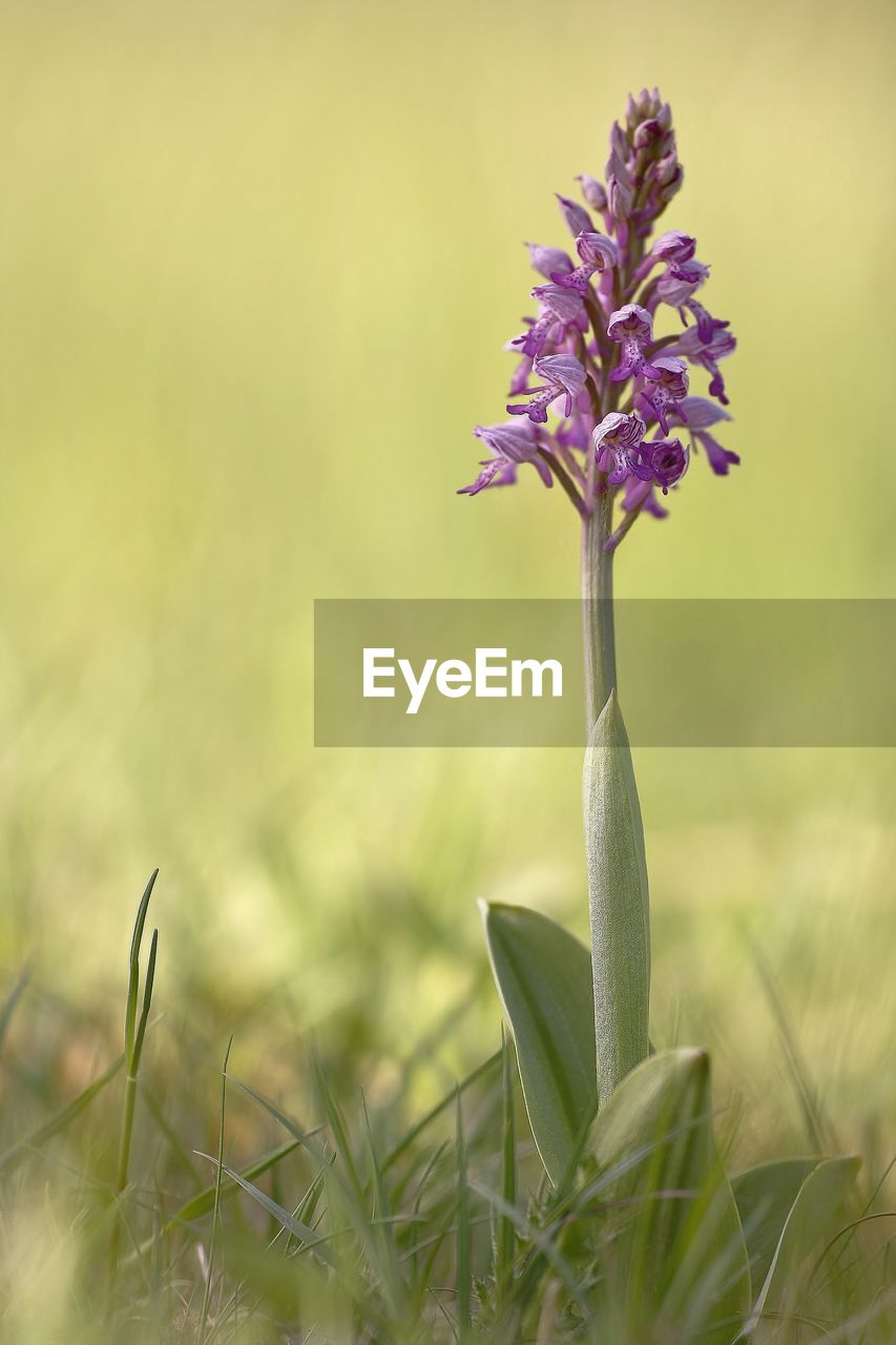 plant, beauty in nature, growth, flower, flowering plant, freshness, vulnerability, fragility, nature, close-up, selective focus, land, field, no people, petal, day, green color, flower head, inflorescence, focus on foreground, outdoors, purple