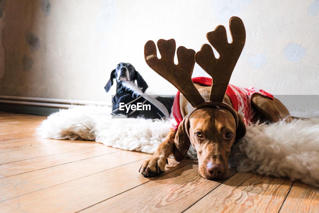Portrait Of Dogs Relaxing On Hardwood Floor