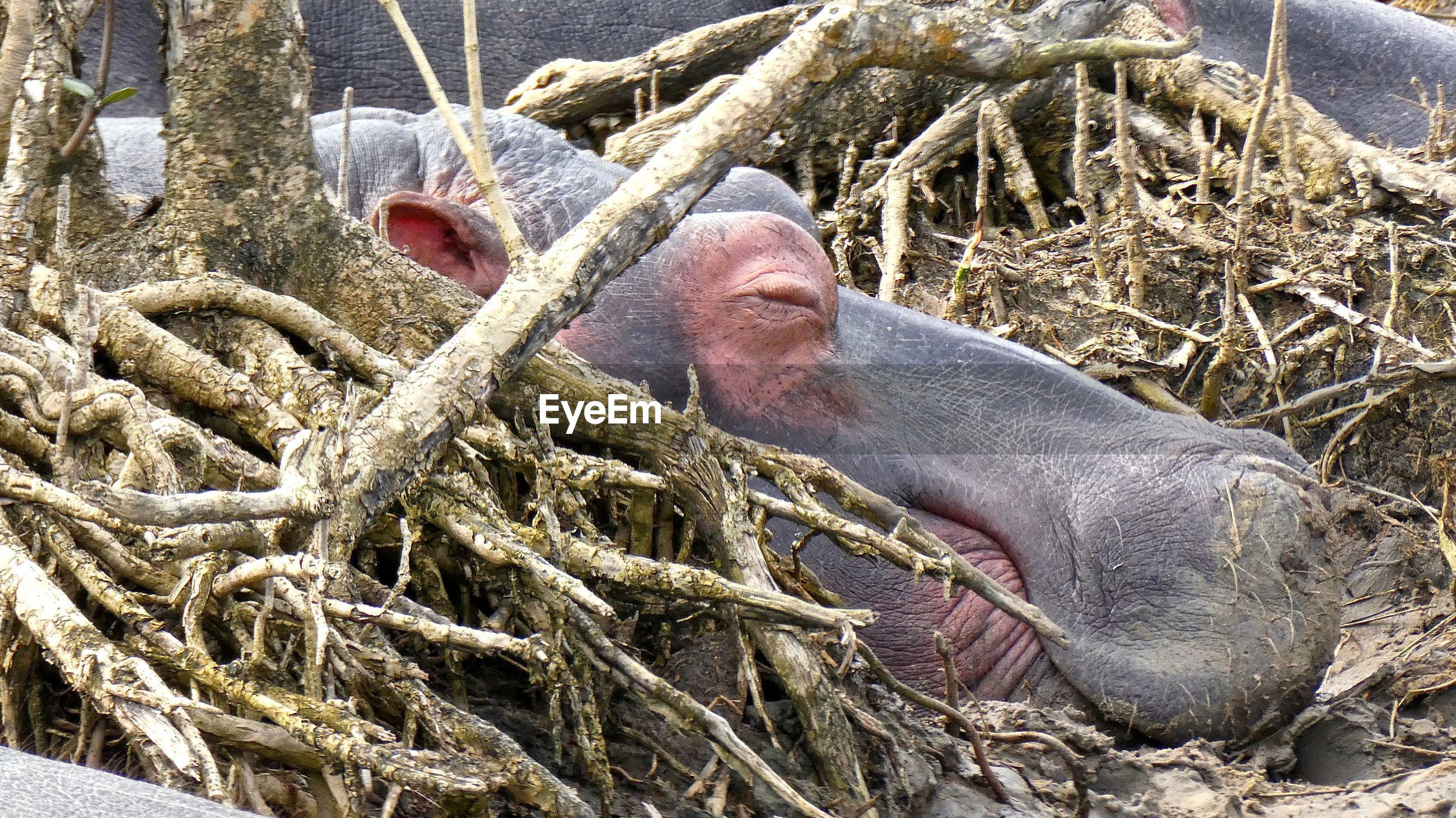 Close-up of rhino
