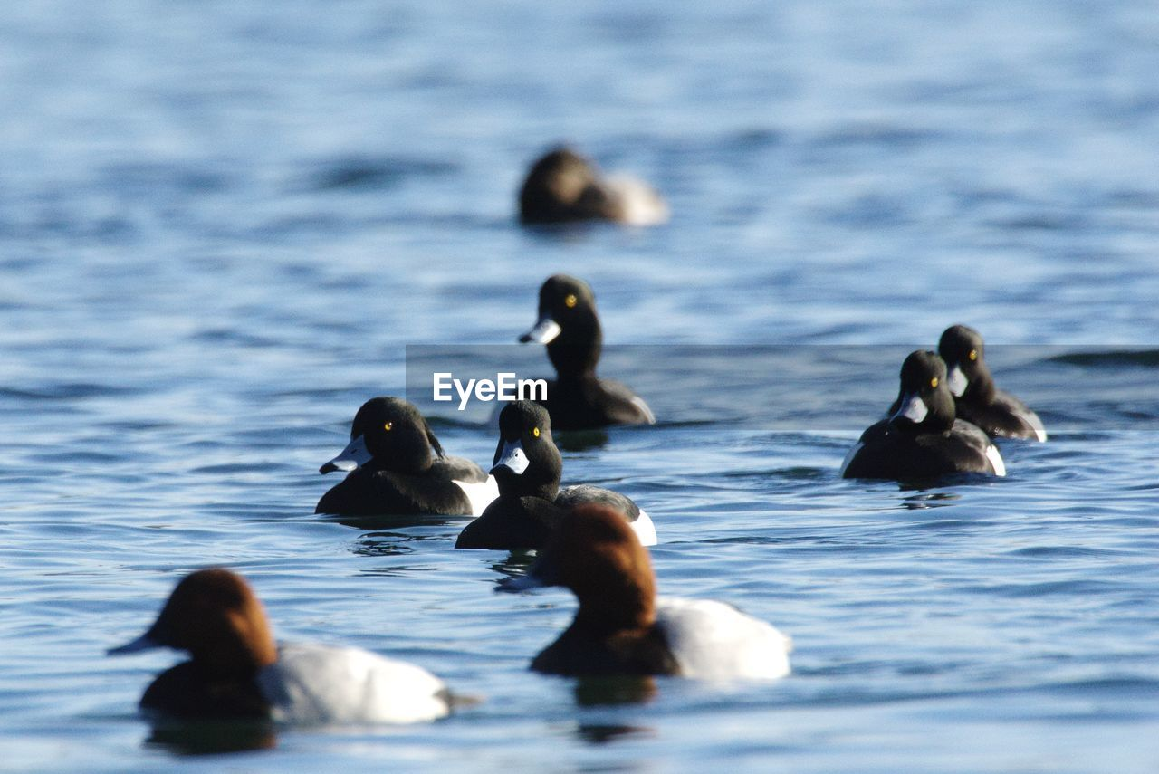 animal wildlife, animal, group of animals, bird, animal themes, animals in the wild, water, swimming, vertebrate, waterfront, lake, nature, no people, selective focus, day, beauty in nature, water bird, duck, poultry, flock of birds, animal family