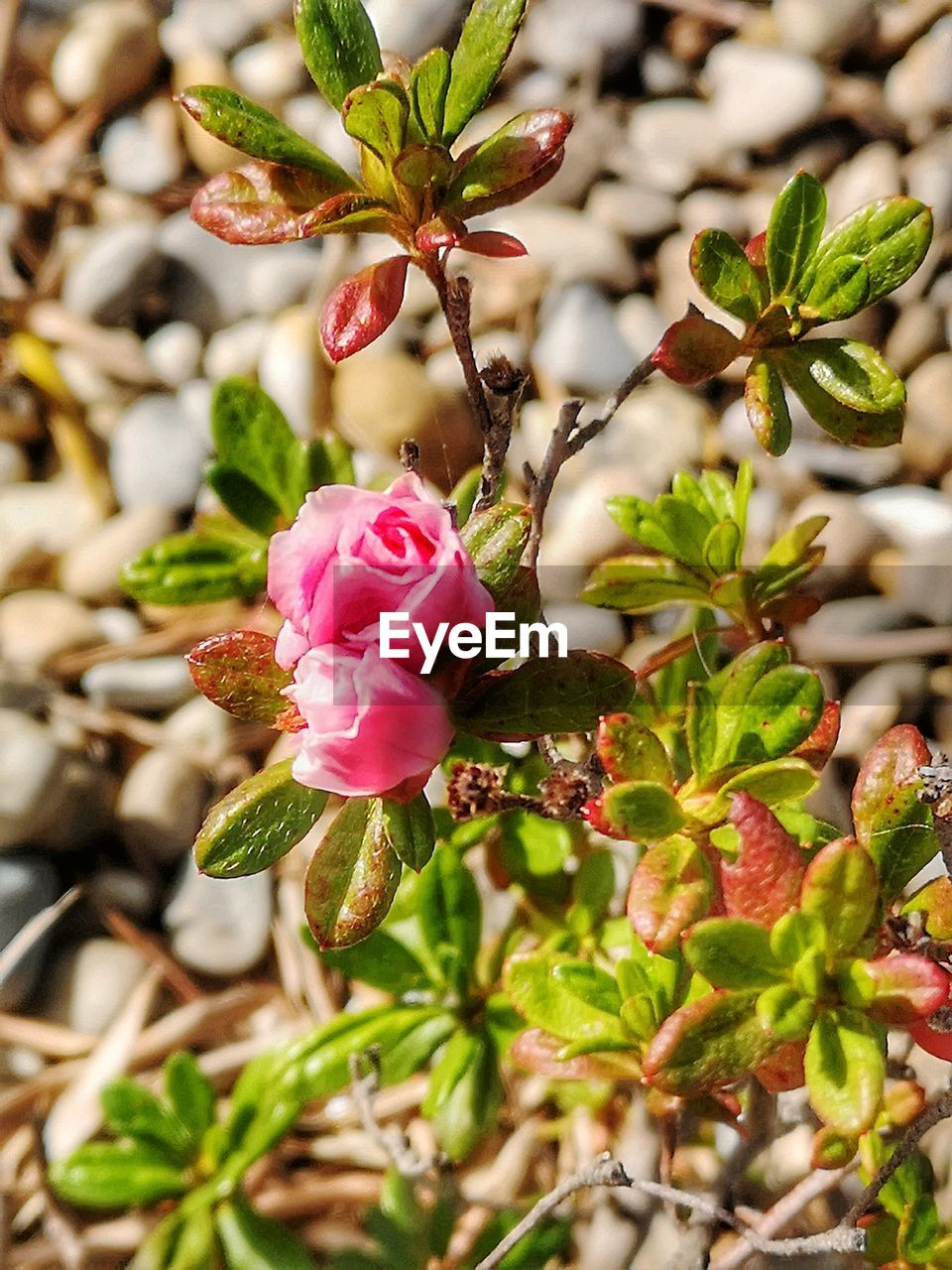 flower, plant, beauty in nature, growth, fragility, close-up, freshness, flowering plant, vulnerability, plant part, leaf, petal, pink color, nature, focus on foreground, inflorescence, flower head, no people, day, outdoors