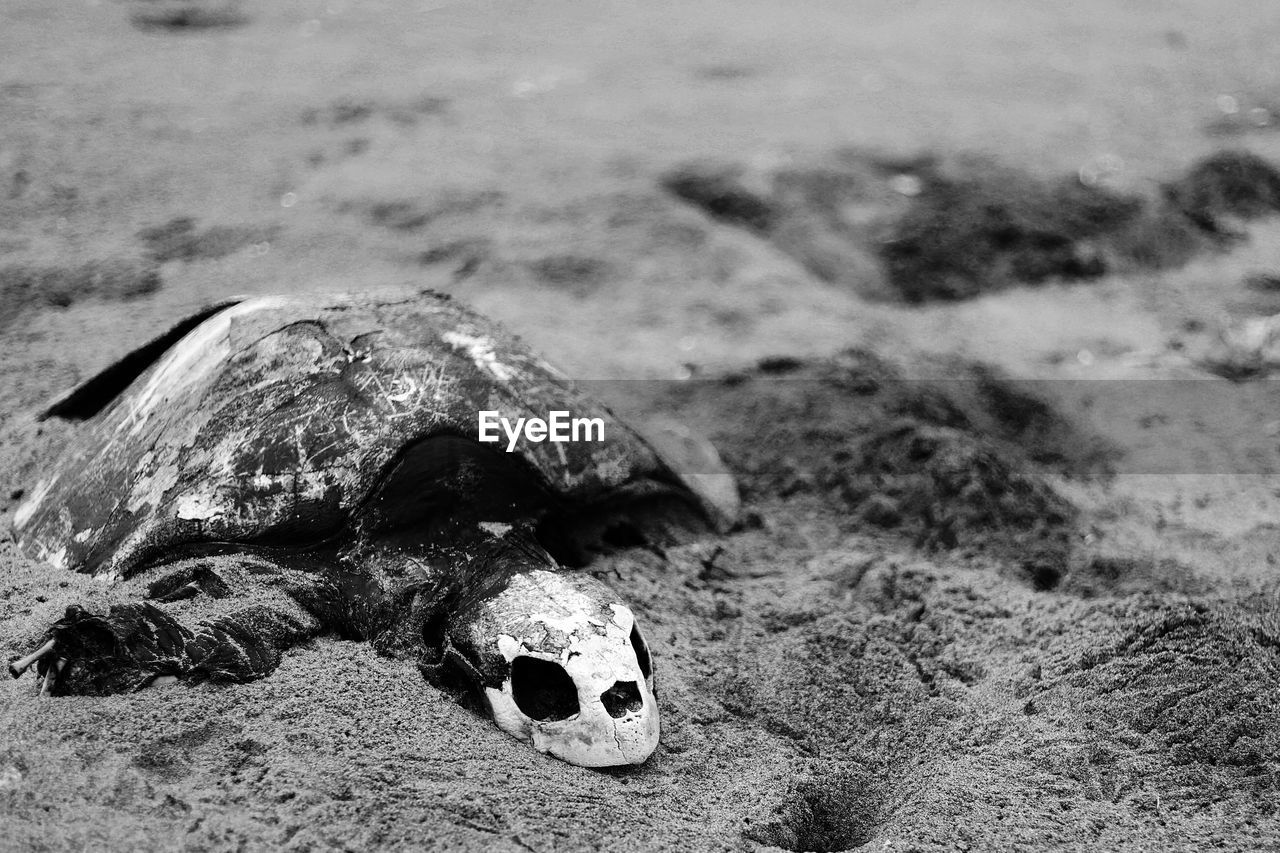 land, no people, bone, focus on foreground, nature, close-up, day, field, selective focus, outdoors, animal, animal body part, single object, old, high angle view, animal wildlife, skull, surface level