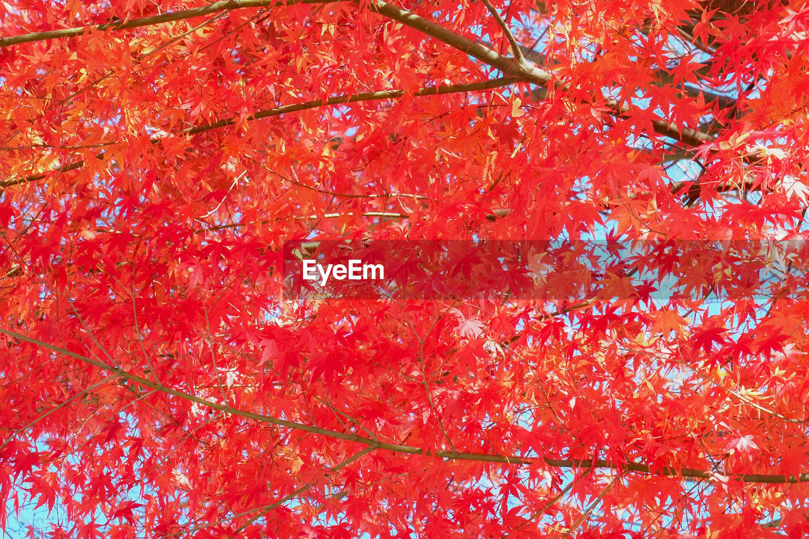 Full frame shot of maple tree