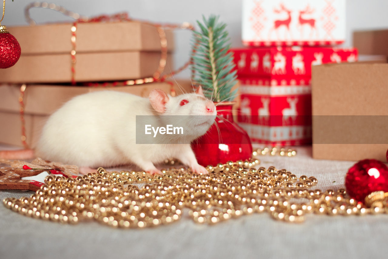 animal, animal themes, mammal, indoors, celebration, pets, one animal, holiday, domestic, christmas, domestic animals, box, container, no people, gift, vertebrate, box - container, decoration, close-up, rodent