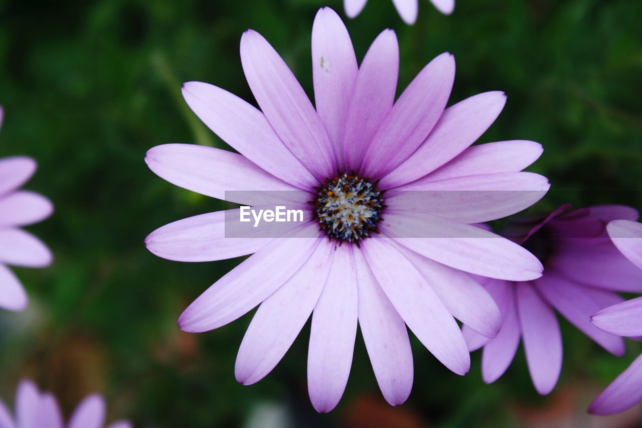flower, flowering plant, fragility, vulnerability, petal, plant, freshness, flower head, inflorescence, beauty in nature, growth, close-up, osteospermum, purple, focus on foreground, pink color, nature, day, no people, pollen