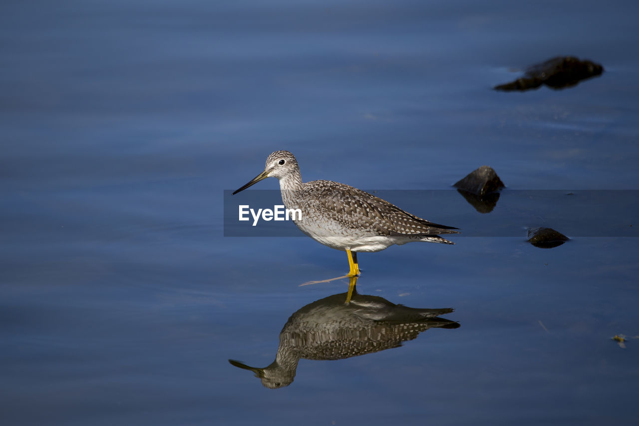 animal wildlife, animals in the wild, vertebrate, bird, animal themes, animal, water, one animal, no people, nature, lake, day, waterfront, focus on foreground, reflection, outdoors, water bird, swimming, high angle view, seagull, marine
