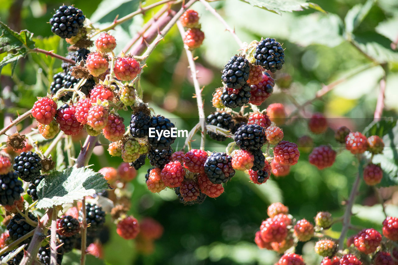 food and drink, food, healthy eating, berry fruit, fruit, freshness, growth, plant, blackberry - fruit, close-up, day, wellbeing, focus on foreground, red, no people, raspberry, nature, blackberry, tree, ripe, outdoors