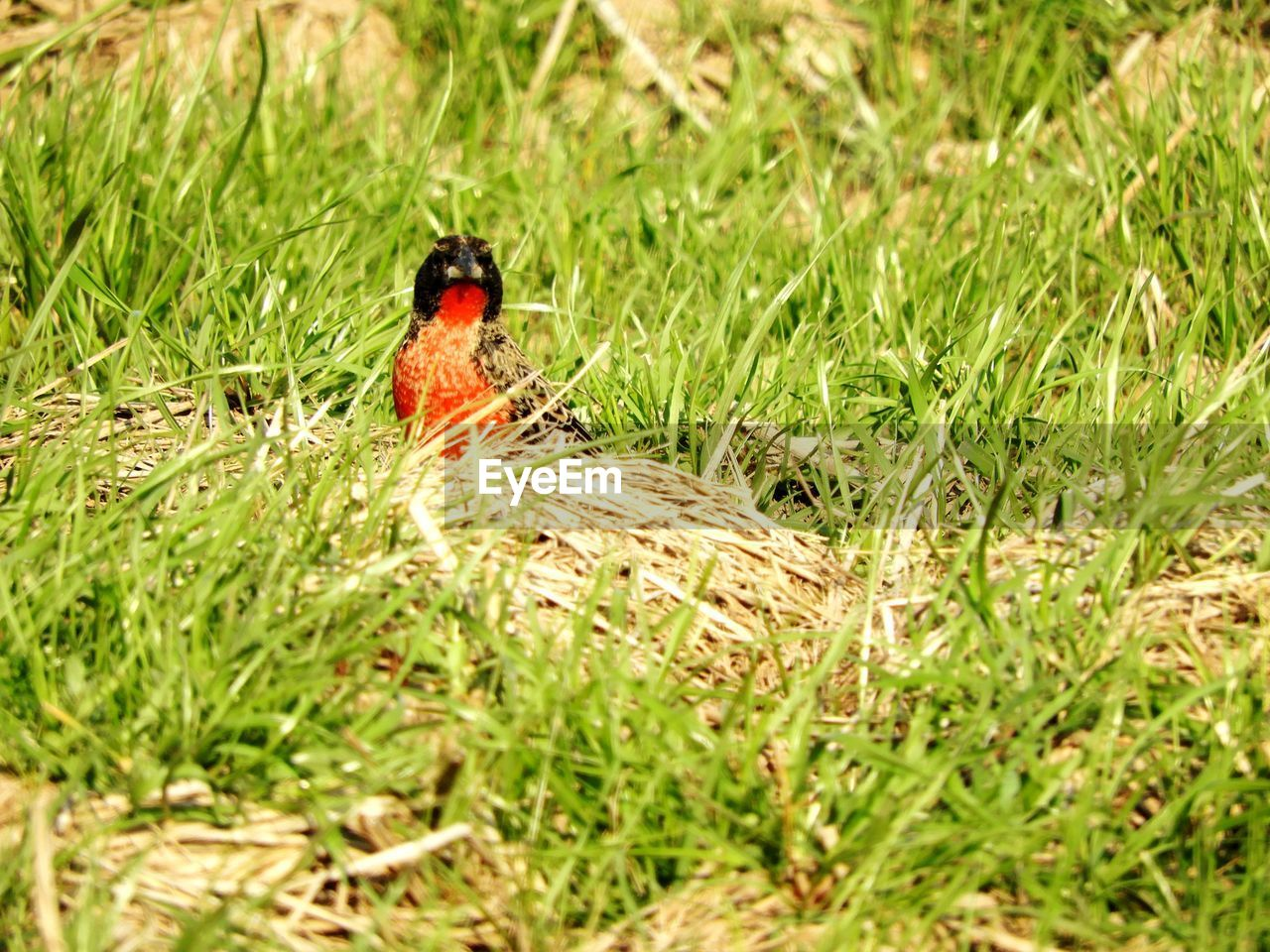 grass, one animal, animal themes, animals in the wild, nature, field, selective focus, green color, no people, day, outdoors, growth, animal wildlife, beauty in nature, bird, perching, close-up