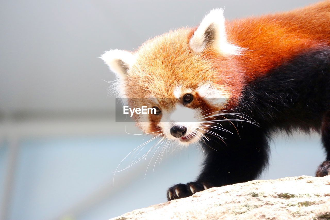 Close-up Of Baby Red Panda
