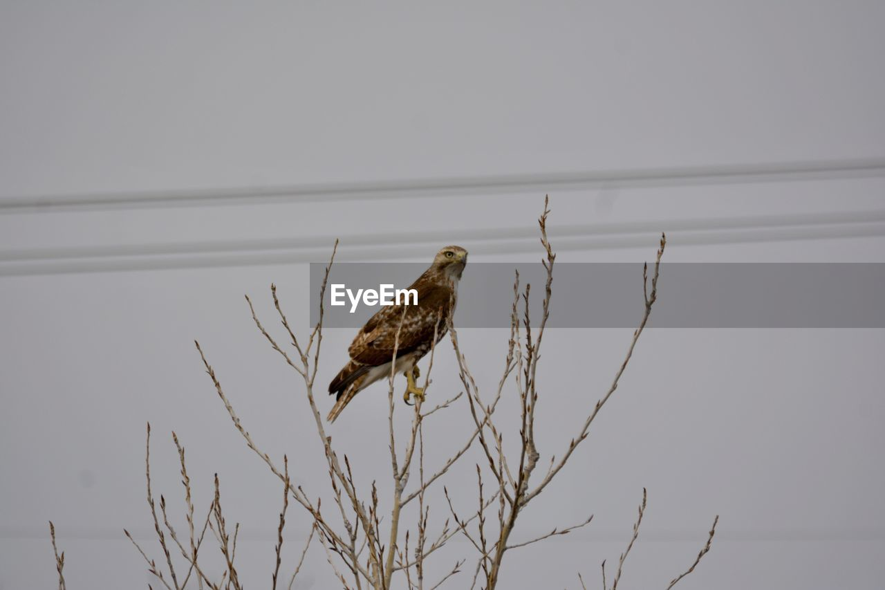 vertebrate, animal, bird, animal themes, animal wildlife, animals in the wild, one animal, perching, sky, nature, branch, no people, tree, low angle view, copy space, clear sky, plant, outdoors, bird of prey, day, eagle