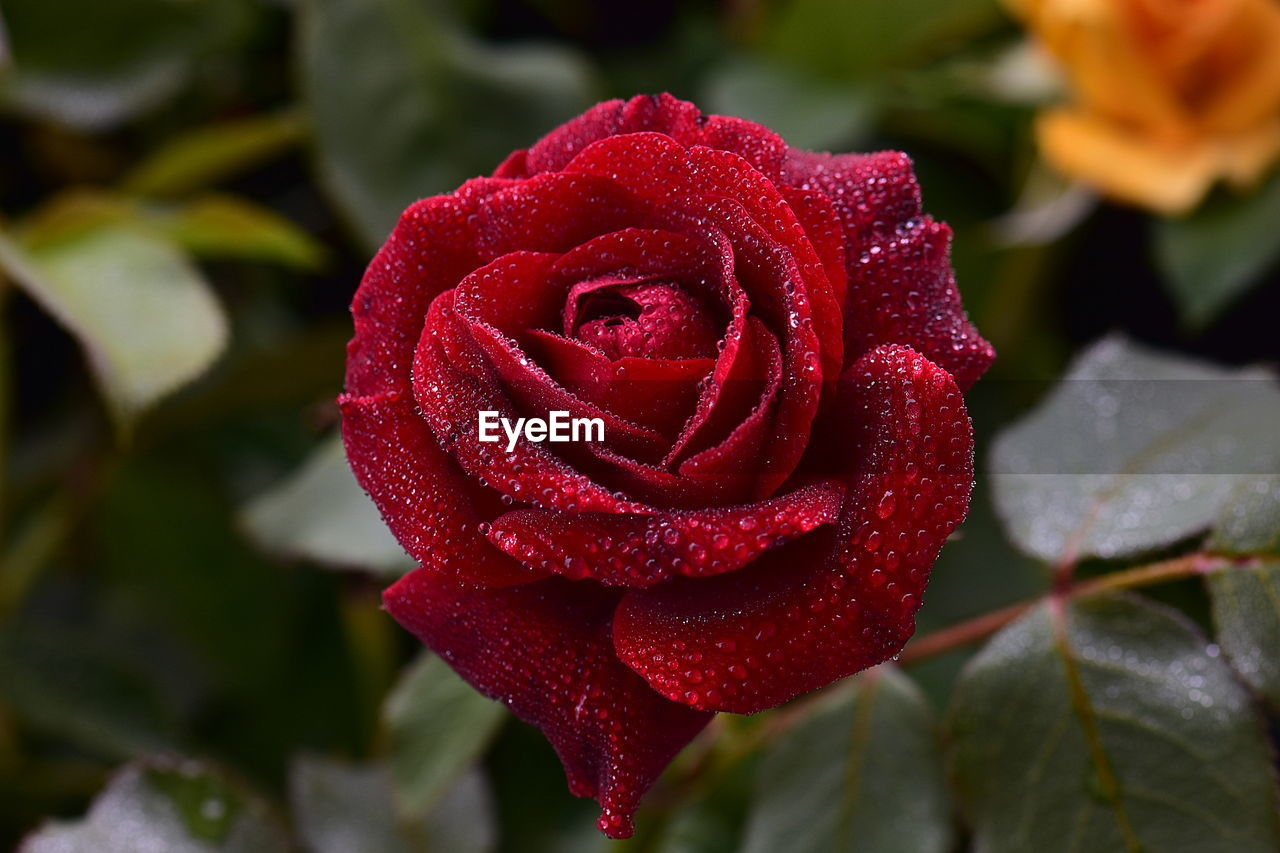 beauty in nature, plant, rose, flower, petal, rose - flower, flowering plant, close-up, red, fragility, vulnerability, inflorescence, flower head, growth, freshness, nature, wet, focus on foreground, drop, no people, outdoors, softness, dew