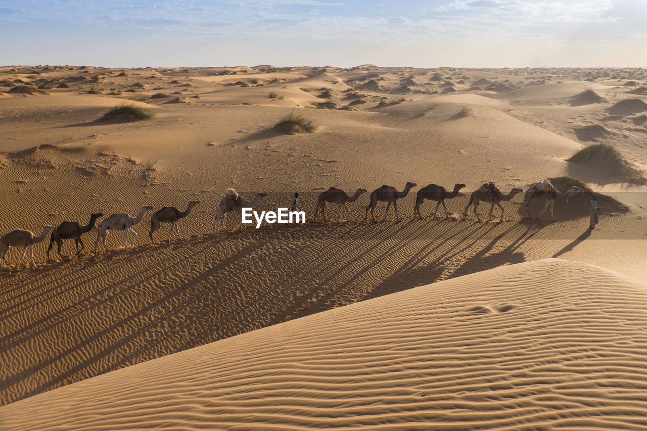 land, sand, desert, group of animals, landscape, scenics - nature, mammal, animal themes, nature, large group of animals, sand dune, animal, arid climate, non-urban scene, sky, domestic animals, climate, environment, beauty in nature, day, no people, outdoors, herd