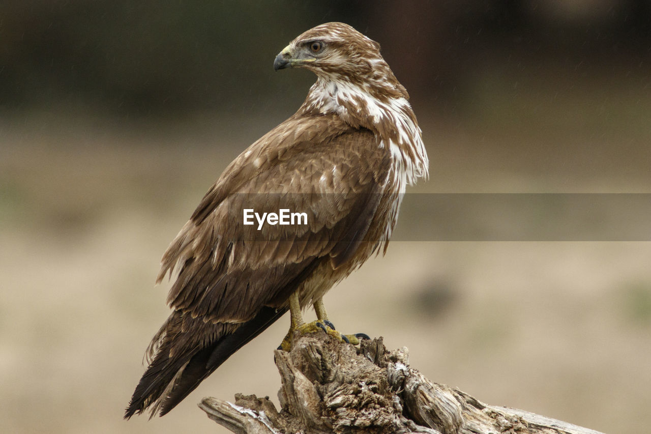 bird, animal themes, animal, animals in the wild, animal wildlife, one animal, vertebrate, perching, focus on foreground, no people, bird of prey, close-up, nature, day, outdoors, full length, rock, wood - material, zoology, rock - object, eagle