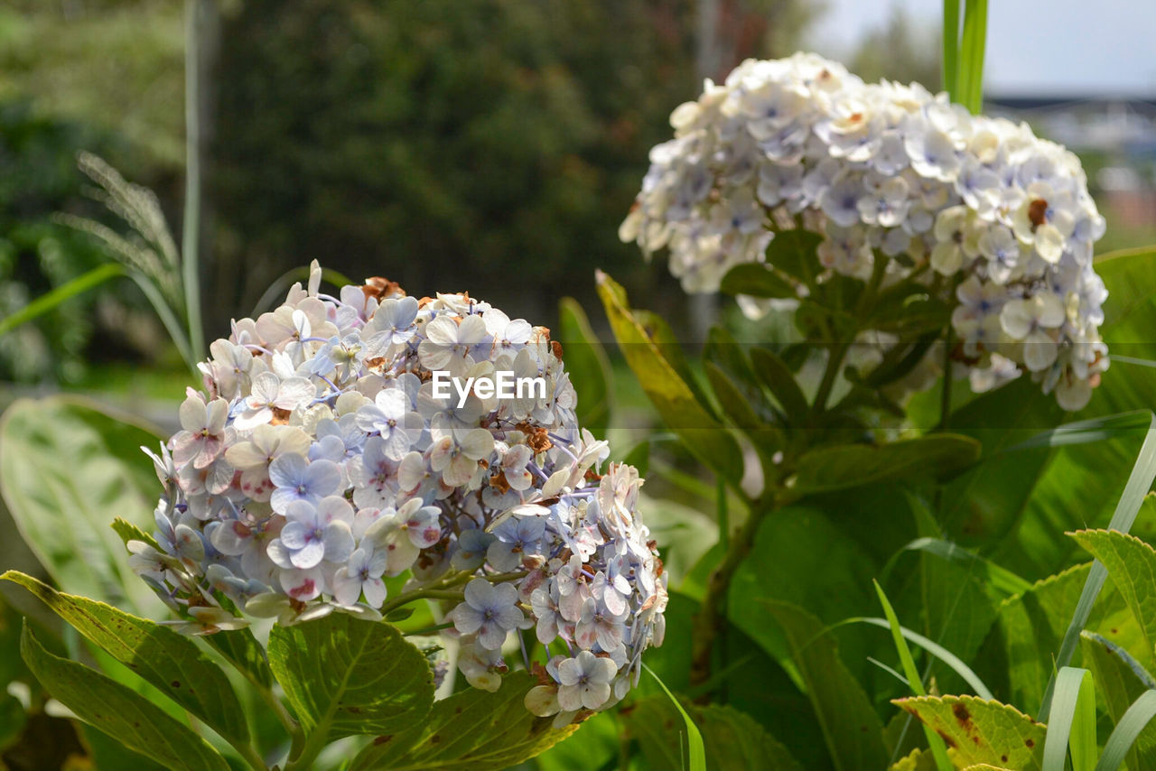 flower, white color, nature, petal, fragility, beauty in nature, hydrangea, rose - flower, growth, flower head, freshness, day, no people, plant, blooming, close-up, outdoors, bouquet