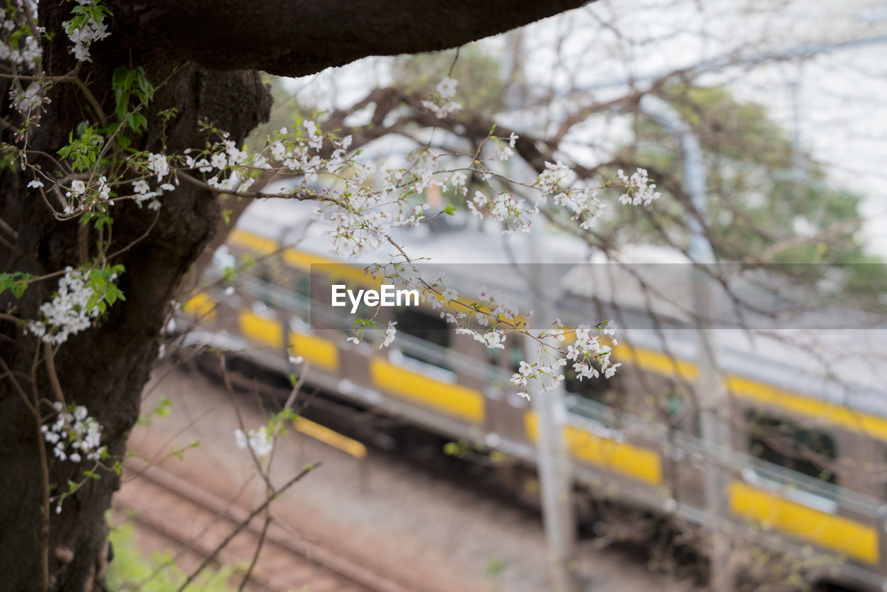 Close-up of cherry blossom plant by train