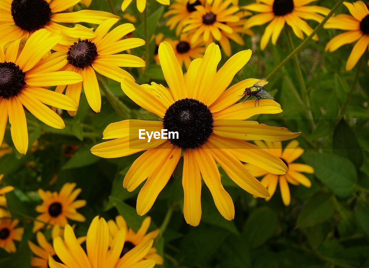 flower, flowering plant, yellow, plant, freshness, petal, fragility, vulnerability, beauty in nature, flower head, growth, coneflower, inflorescence, black-eyed susan, close-up, pollen, focus on foreground, nature, day, no people, outdoors