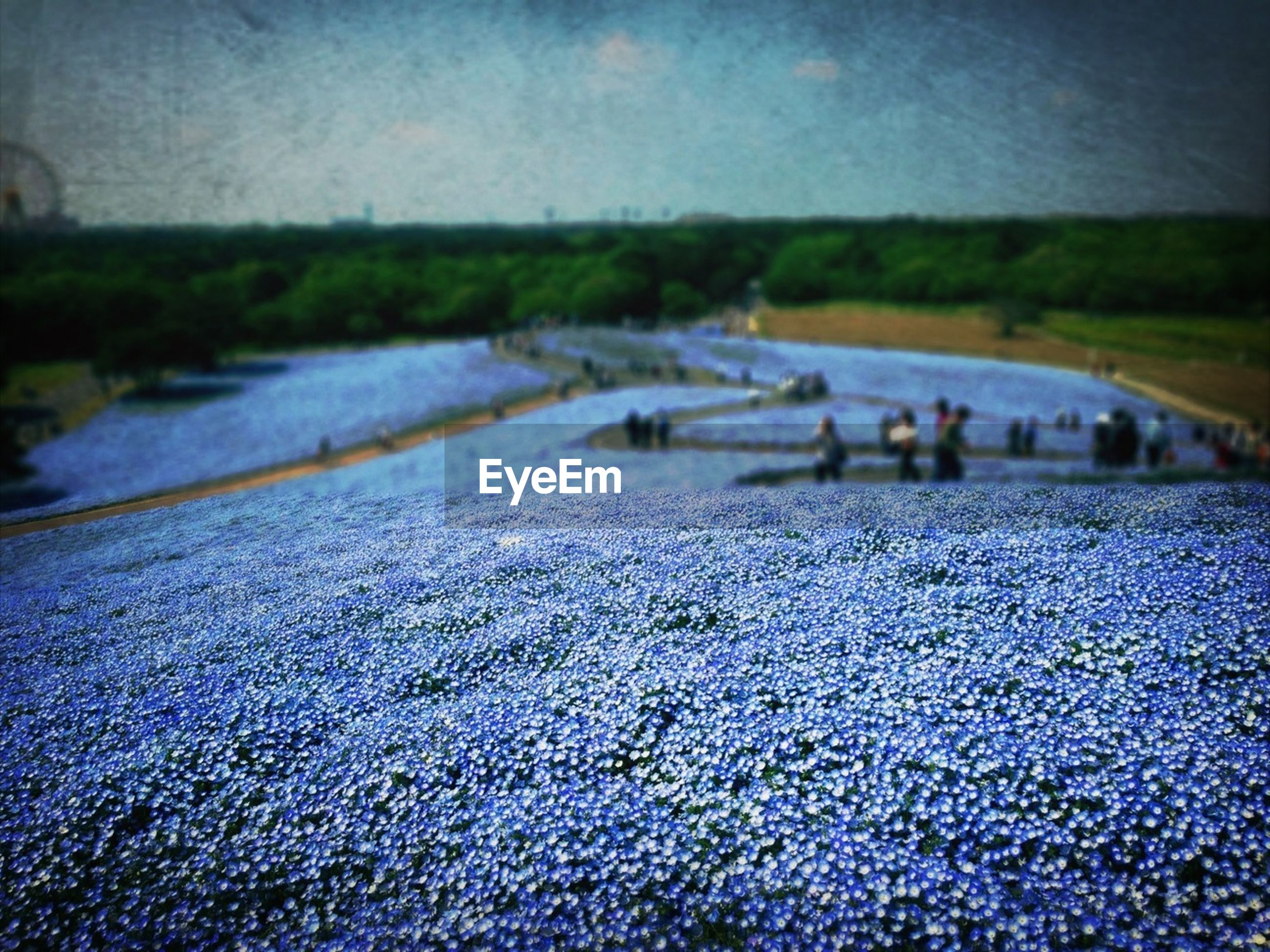 surface level, selective focus, flower, nature, water, focus on foreground, fragility, beauty in nature, day, outdoors, field, blue, street, no people, tranquility, close-up, road, park - man made space, purple, plant