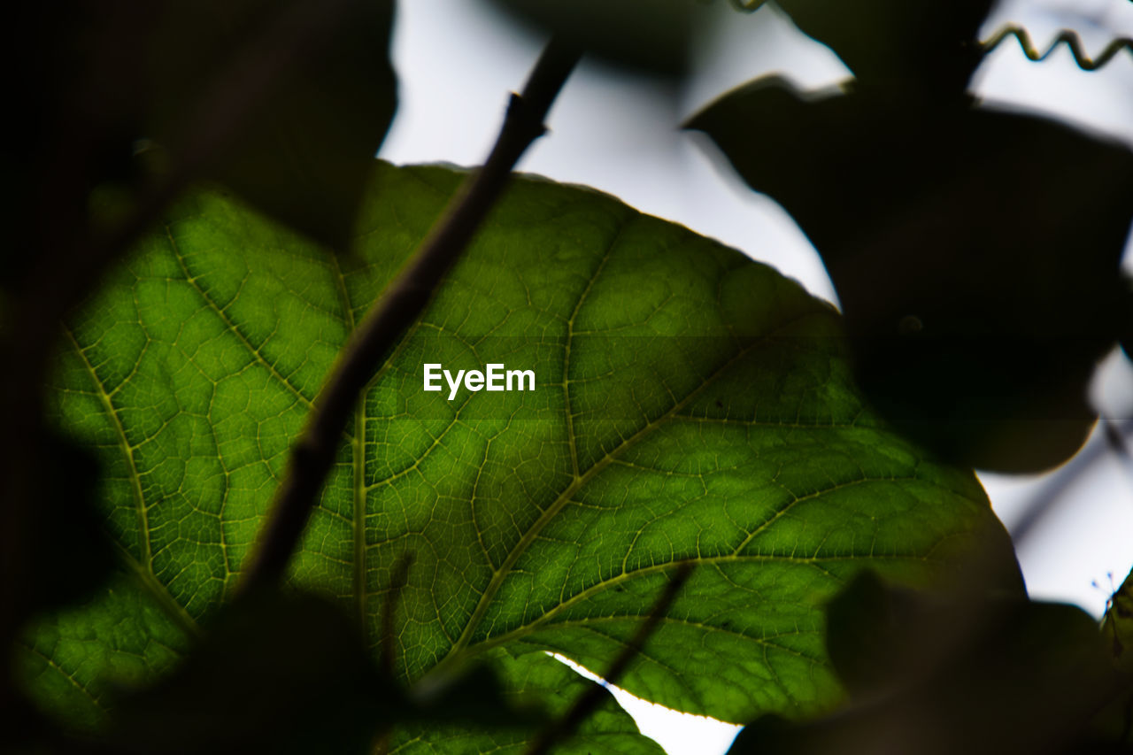 leaf, plant part, plant, green color, growth, close-up, selective focus, nature, beauty in nature, no people, day, leaf vein, outdoors, tree, low angle view, focus on foreground, sky, tranquility, freshness, leaves, maple leaf