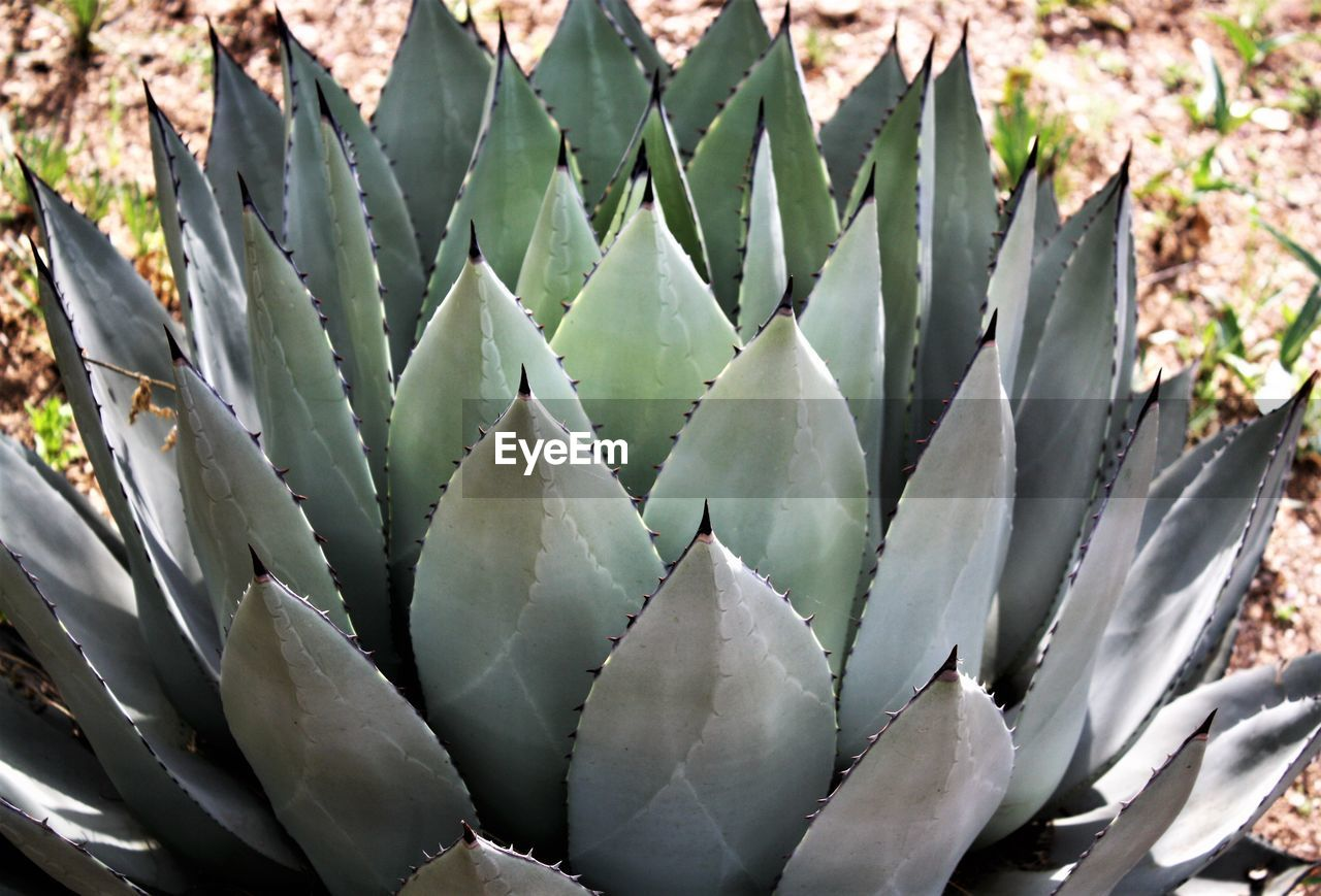 cactus, thorn, aloe vera plant, aloe, spiked, growth, nature, plant, outdoors, beauty in nature, close-up, green color, healthcare and medicine, no people, alternative medicine, herbal medicine, uncultivated, day, prickly pear cactus