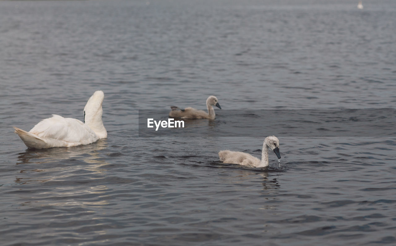 Swan And Cygnets Swimming In Lake