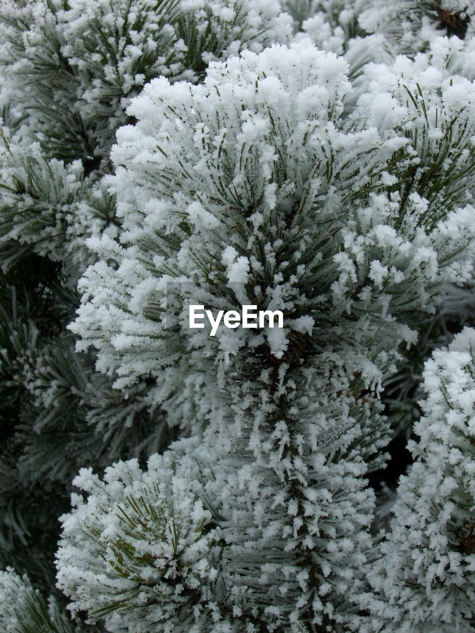 winter, snow, cold temperature, nature, growth, pine tree, no people, fir tree, christmas tree, plant, close-up, spruce tree, christmas, outdoors, day, beauty in nature, snowflake, tree