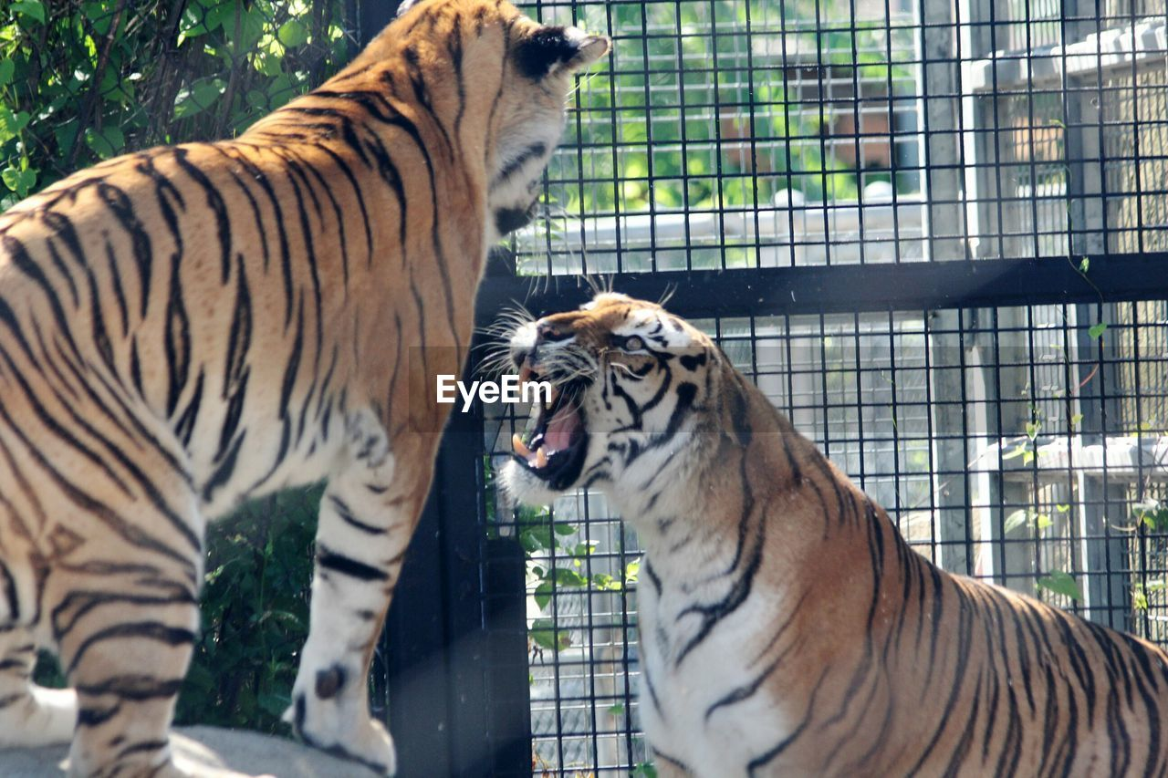 Tigers Fighting In Cage