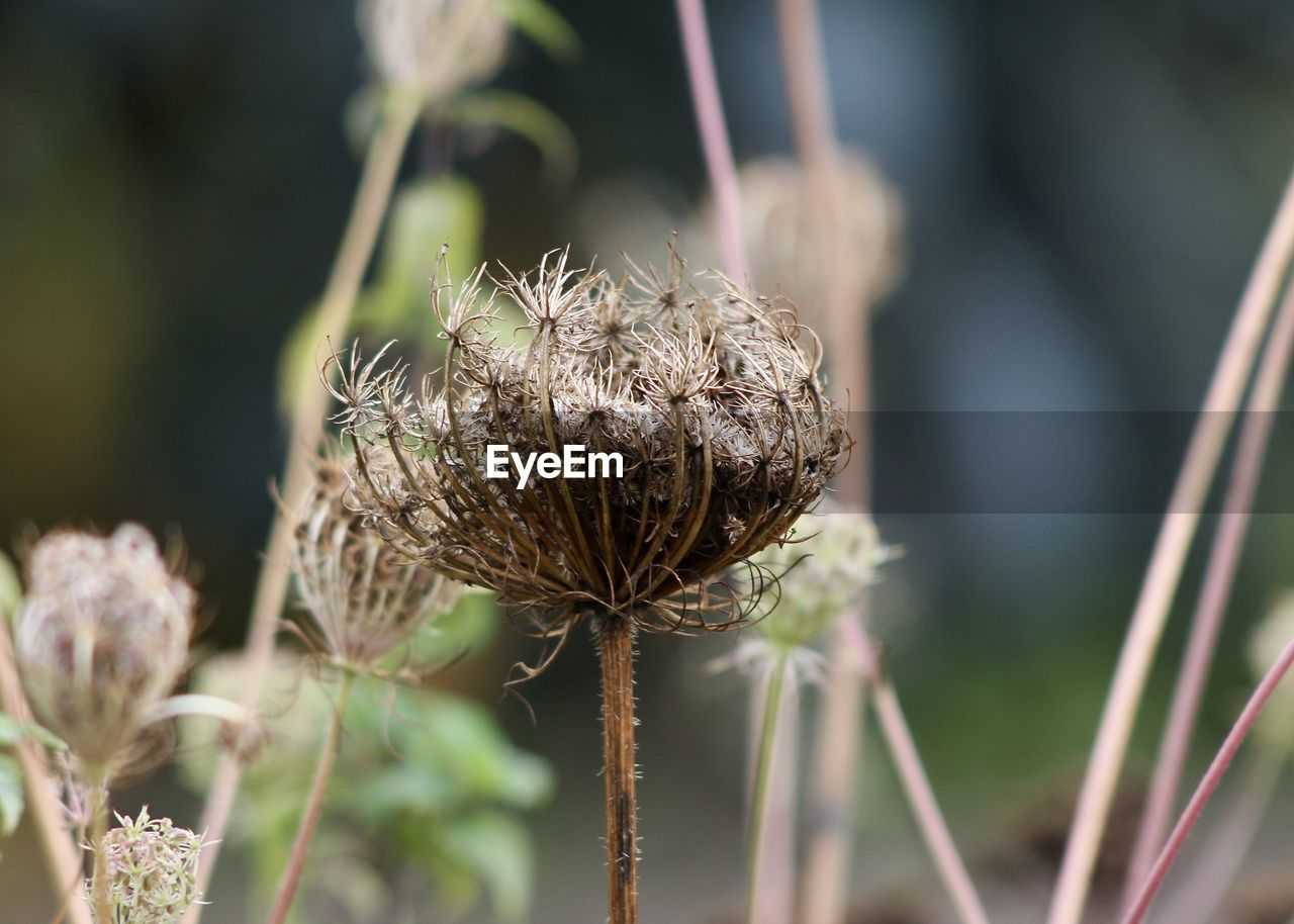 nature, plant, focus on foreground, close-up, growth, fragility, no people, dried plant, day, outdoors, flower, wilted plant, beauty in nature, freshness