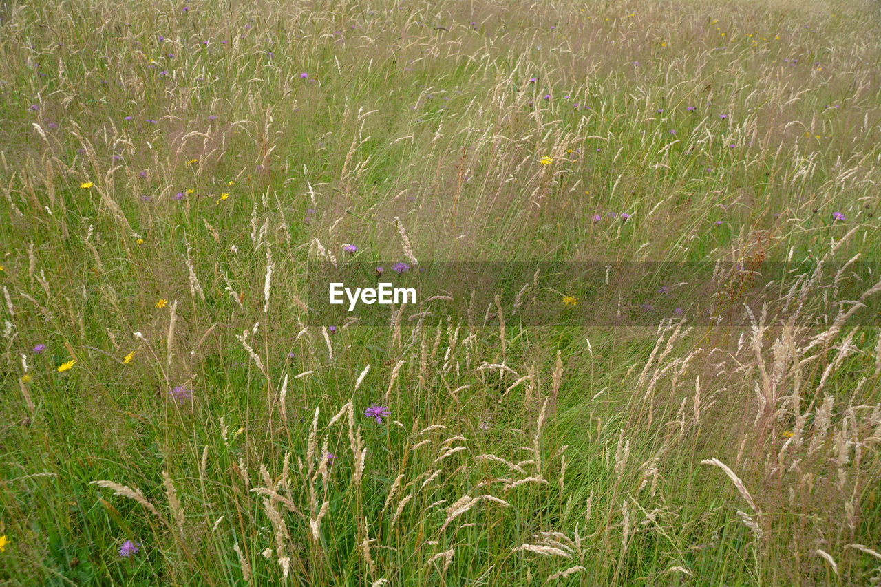 grass, growth, field, nature, plant, no people, tranquility, flower, beauty in nature, cereal plant, outdoors, green color, day, rural scene, fragility, wheat, freshness
