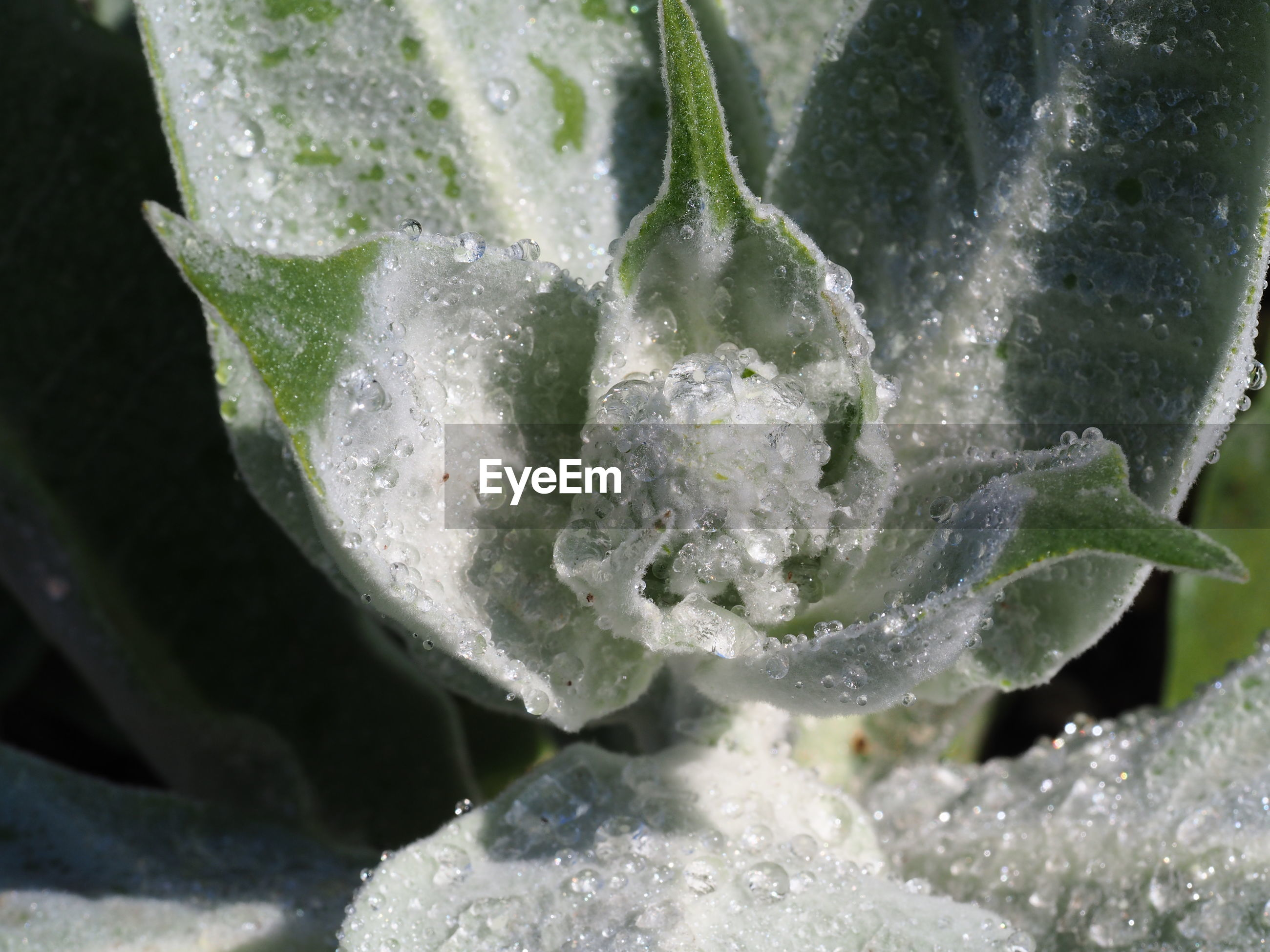 Close-up of water drops on frozen leaves