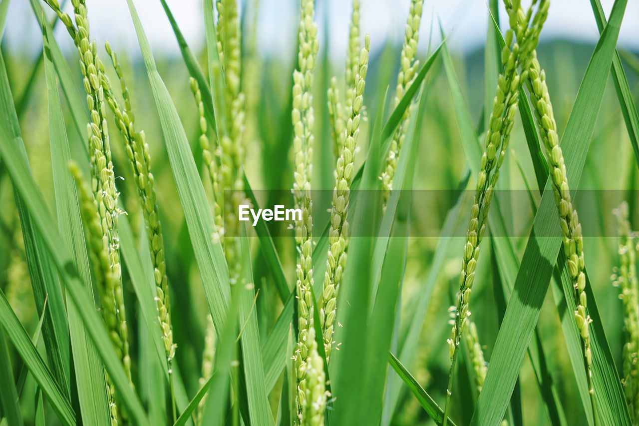 growth, green color, nature, close-up, plant, grass, day, field, outdoors, beauty in nature, ear of wheat, no people, fragility, full frame, freshness, backgrounds